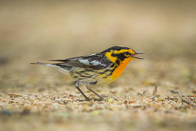 Warbler Photograph - Singing Blackburnian Warbler by Chris Hurst