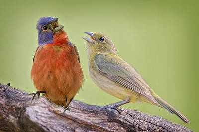 Romeo And Juliet Photograph - Singing Buntings by Bonnie Barry