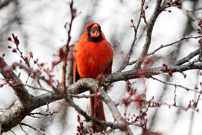 Photograph - Singing Cardinal by Trina  Ansel