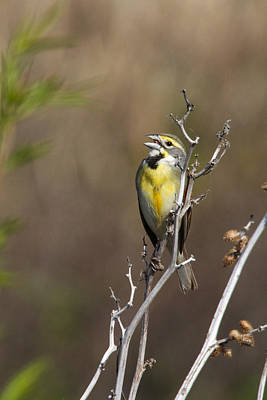 Photograph - Singing Dickcissel by Jill Bell