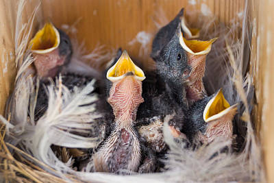 Photograph - Singing For Supper by Bill Pevlor