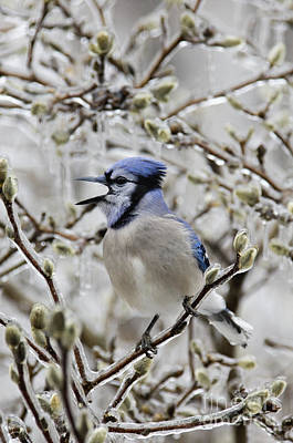 Photograph - Singing Jay - D008809 by Daniel Dempster