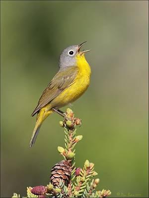 Nature Photograph - Singing Nashville Warbler by Daniel Behm