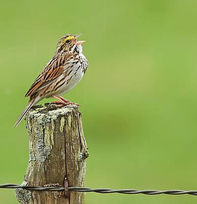 Photograph - Singing Savannah Sparrow by John Vose