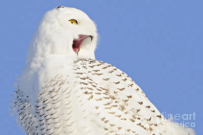 Photograph - Singing Snowy by Larry Ricker