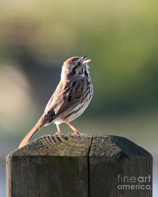 Art Print featuring the photograph Singing Song Sparrow by Anita Oakley