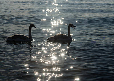 Photograph - Singing Trumpeter Swans - Lake Ontario Toronto by Georgia Mizuleva
