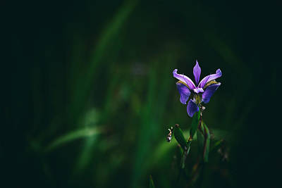 Purple Passion Photograph - Single Bloom by Karol Livote