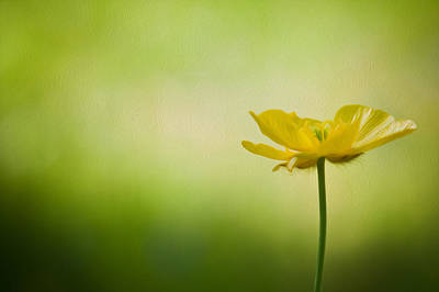 Natuure Photograph - Single Buttercup Digital Painting by Matthew Gibson
