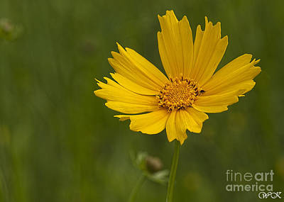 Photograph - Single Coreopsis by Wanda Krack