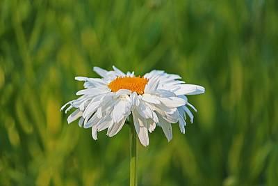 Photograph - Single Shasta Daisy by Michael Saunders