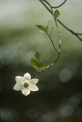 Single Dogwood Blossom Art Print