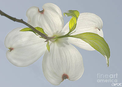 Photograph - Single Dogwood Blossom by Wanda Krack