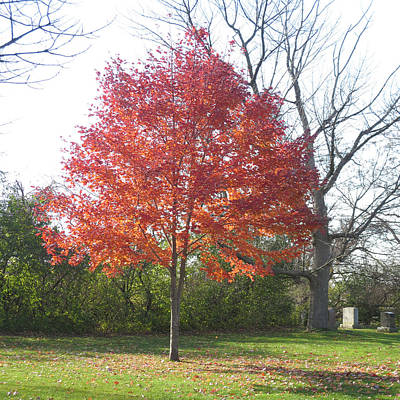 Single Fall Color Tree By The Cemetery At Dundas West Oakville Ontario Canada Known For The Best Col Art Print
