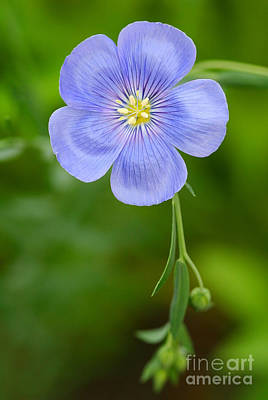 Photograph - Single Flower Blue Flax by Steve Augustin
