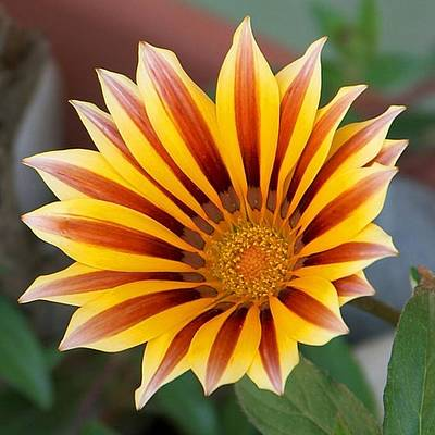 Photograph - Single Flower Close Up Gazania Red Stripe by Tracey Harrington-Simpson