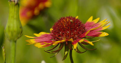 Photograph - Single Indian Blanket by Charles Beeler