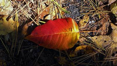 Red Fallen Leave Photograph - Single Leaf by Michael Saunders