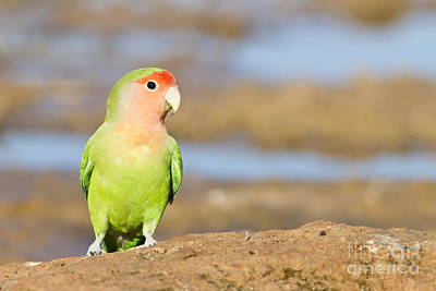 Rosy-faced Lovebird Photograph - Single Love Bird Seeks Same by Bryan Keil