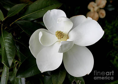 Single Magnolia II Art Print