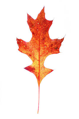 Photograph - Single Oak Leaf by Chris Bordeleau