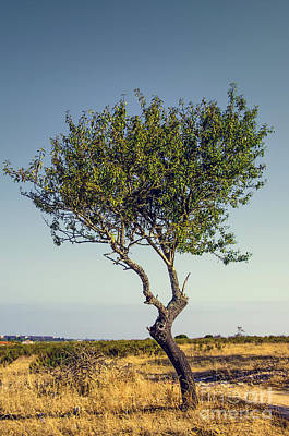 Olive Photograph - Single Olive Tree by Carlos Caetano