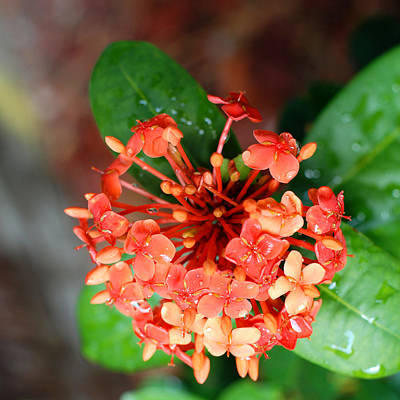 Photograph - Single Orange Ixora by Connie Fox
