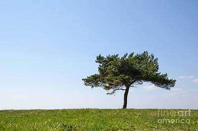 Photograph - Single Pine Tree by Kennerth and Birgitta Kullman