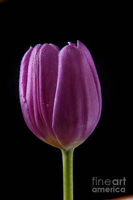 Photograph - Single Purple Tulip by Eden Baed