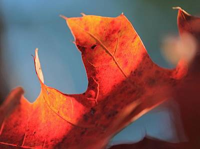 Photograph - Single Red Oak Leaf by Michael Saunders