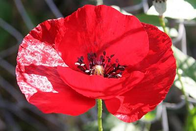 Photograph - Single Red Poppy Flower  by Tracey Harrington-Simpson
