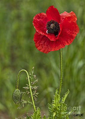 Photograph - Single Red Poppy With Bud by Wanda Krack