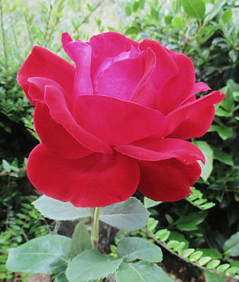 Cottage Photograph - Single Red Rose by Kathy Spall