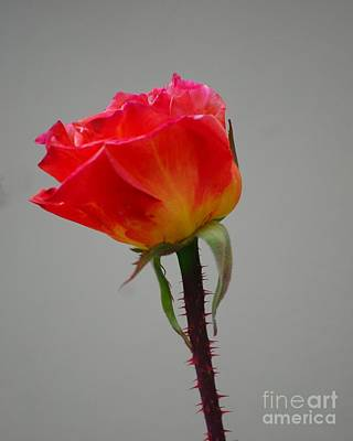 Photograph - Single Rose by Mark McReynolds