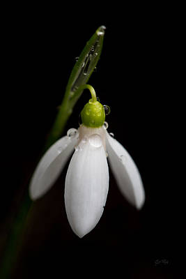 Photograph - Single Snowdrop Portrait by Eti Reid