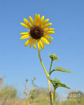Photograph - Single Sunflower by Debra Thompson