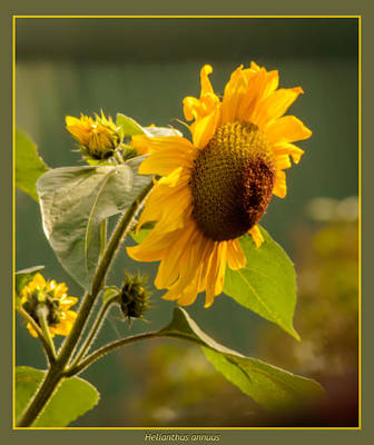Photograph - Single Sunflower  by Yvon van der Wijk