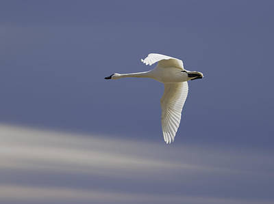 Flying Swan Photograph - Single Swan In Flight by Thomas Young
