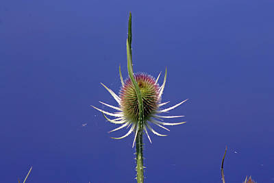 Photograph - Single Teasel by Tony Murtagh