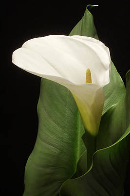 Single White Calla Art Print by Harold Rau