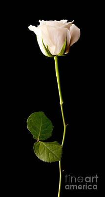 Rosaceae Photograph - Single White Rose On Black by Simon Bratt Photography LRPS