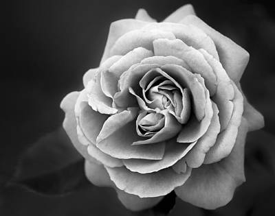 Photograph - Single White Rose by Susan Candelario