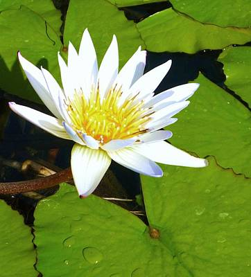 Photograph - Single White Water Lily by Stephanie Callsen