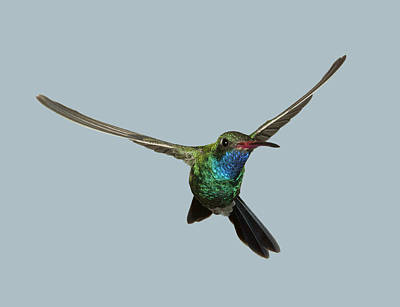 Photograph - Sinuous Broad-billed Hummingbird by Gregory Scott
