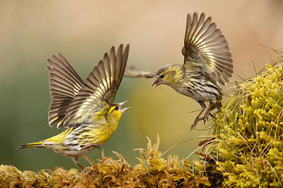Siskin Argy Bargy Art Print by Izzy Standbridge