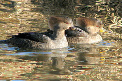 Photograph - Sister Mergansers by Frank Townsley