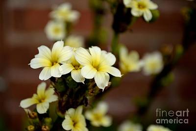 Sisyrinchium Striatum Art Print by Scott Lyons