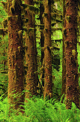Sitka Spruce And Sword Ferns, Hoh Rain Art Print by Michel Hersen