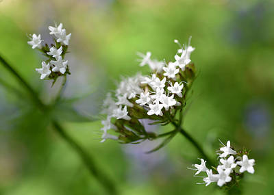 Photograph - Sitka Valerian 2 by Ronda Broatch