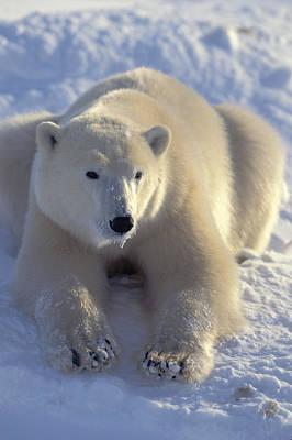 Photograph - Sitting Bear by Randy Green